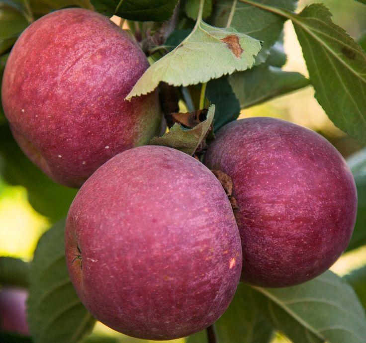 Cogli la prima #mela! La #frutta il #cibo dell'estate! #MelaDiToscana #MeleLaCoccinella la #novità della #Toscana