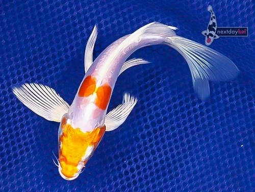 Gw 7 kikusui butterfly fin live koi fish pond garden ndk for All black koi fish