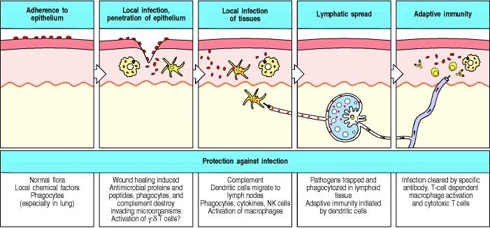 Figure 10.2. Infections and the responses to them can be divided into a series of stages.