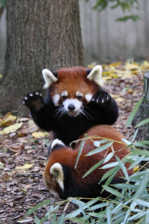 Red Panda Attack! (by Mark Dumont) :)