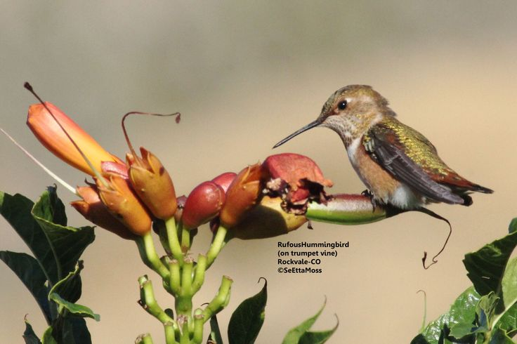 ideas about Hummingbird Migration on Pinterest