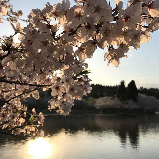 おはようございます!  写真は東金の桜の名所【八鶴湖】です🌸  桜と夕日のコラボレーションがなんともキレイでした。  まだまだ綺麗に咲いていました✨ まだ訪れたことのない方! 必見ですよ◡̈⃝ #桜 #お花見 #japan  #sakura #SAMEOLD 他メニュー・店内写真➡︎#sameold_teh#セイムオールド#ランチ#東金#togane#千葉#カフェ#cafe#千葉カフェ#東金市#山武市#九十九里#食堂#ランチ#lunch#生パスタ#パスタ#pasta#オムライス#カレー#肉#パンケーキ#pancake#スタッフ募集