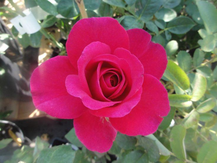 Róża wielkokwiatowa J.W.v Goethe Rose R