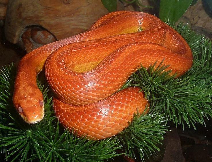 Kígyó, mint erőállat