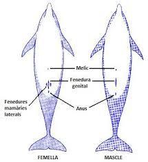 Anatomia dofins
