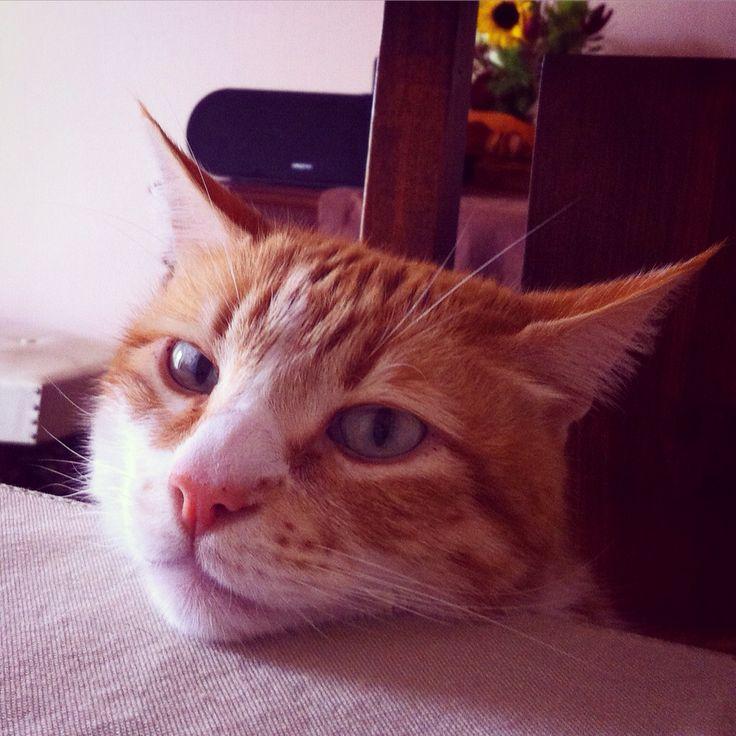 Donatello acompañandonos en la mesa, un caballero.  #gato #cat #chat