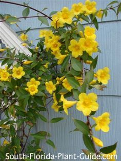 Carolina jasmine is the ideal Florida snowbird vine for its winter and spring color and well-behaved growth habit. Read all about it!  blooms when its cold.  Sap may be poisonous.  Well mannered.  Good for snow birds.