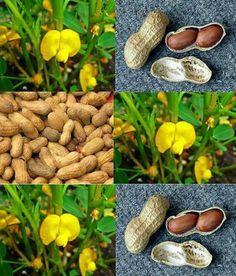 Cómo sembrar cacahuetes (una nueva experiencia)