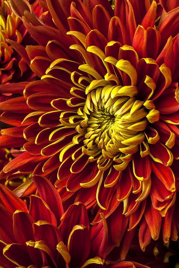 ✯ Red And Yellow Spider Mum