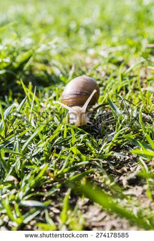 En face snail (Helix pomatia, Burgundy snail, Roman snail, edible snail, escargot)