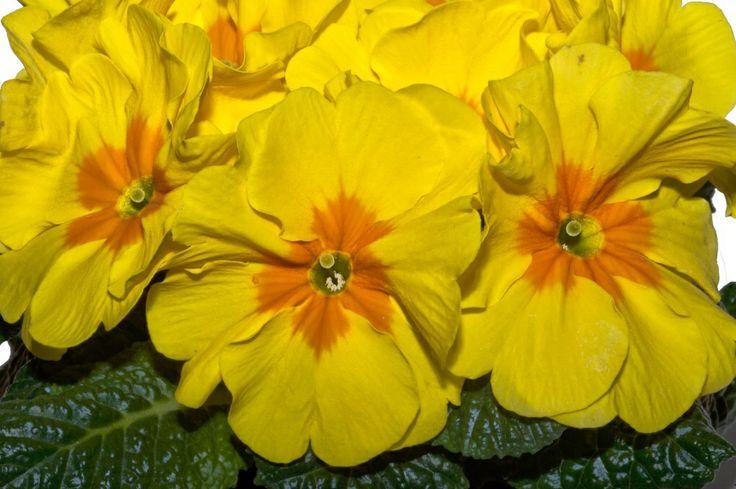 Primula yellow Flower