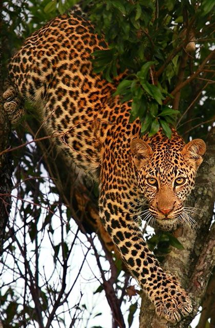"""""""Kali's descent"""" By Sue Green = Gorgeous Leopard - Great Photo !!"""