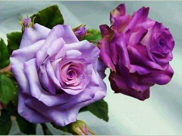 Žluté růže, krásné banda žlutých růží, purpurové růže, žlutých růží, růže PNG, Vízcseppes modré růže, fialové růže, žluté růže, růže PNG - eva6 Blog - J-néErzsike -Csiza přítelkyně, Irene Antalffyné-A, A- Csorbáné Ildikó, A-Gizike můj přítel, A-Ildykó můj přítel, A-Kata přítelkyně, A-Klárika můj přítel, A-Klementinától I, A-Kozma Anna Lidia, A-Margitka můj přítel, A-Maroko můj přítel, A-Mirjam můj přítel, -Piroska můj přítel, A-Suzymamától, Adelaide Hiebel obrazy, Alan Giana krásné obrázky…