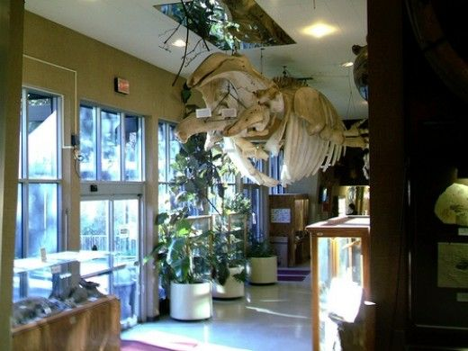 Complete grey whale skeleton prepared completely by Sierra College students and teachers on display in the Sierra College Natural History Museum (Sewell Hall) Rocklin, California