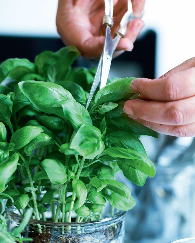 Kender du det – du har købt friske krydderurter i potter, men efter få dage hænger de helt slatne ud over kanten? Se med her, og få tips til at holde dem i live og til at dyrke dine egne krydderurter fra frø i vindueskarmen.