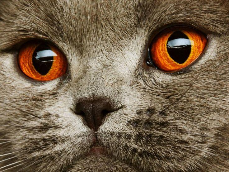 Einfach schön: Graue Schottische Faltohrkatze mit orangen Augen - Bild: Shutterstock / Juice Team www.einfachtierisch.de