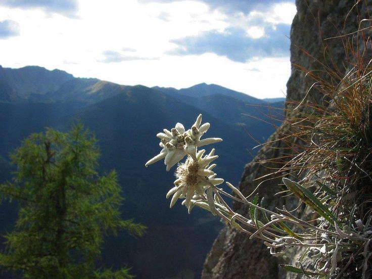 Picaturile de culoare de pe haina muntelui – Florile Carpatilor – Muntii Carpati