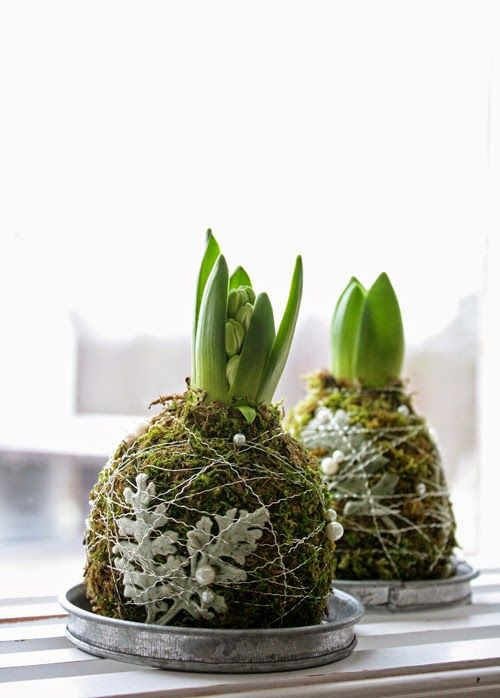 Hyacinth bulbs covered with decorative wire and moss.