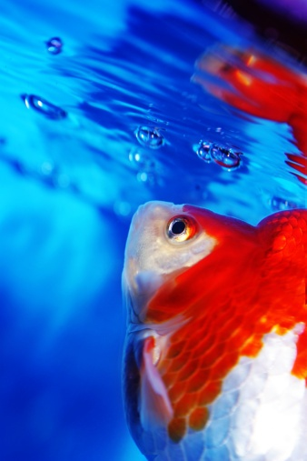151 best images about goldfish koi betta on pinterest for Betta fish bubbles