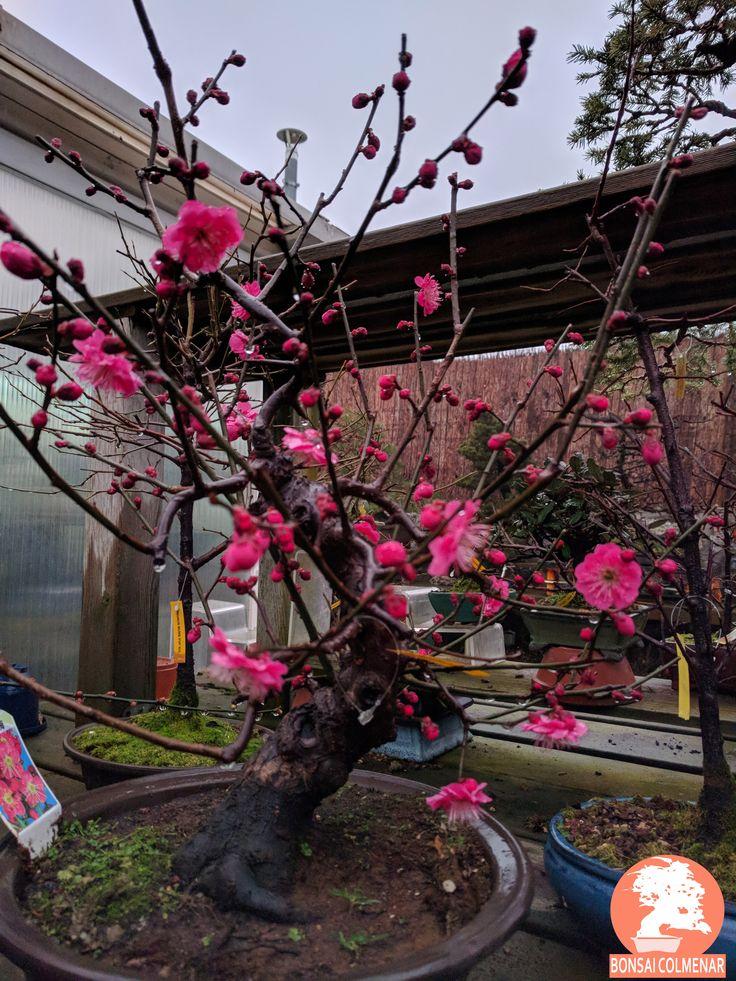 Prunus Mume, Bonsai Colmenar, Tienda y Escuela de bonsai.