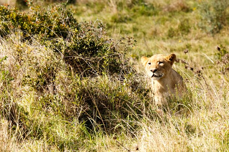 Lion ... Addo Elephant National Park is a diverse wildlife conservation park situated close to Port Elizabeth in South Africa and is one of the country's 19 national parks.