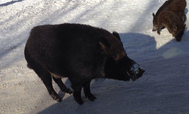 It's a wild boar.