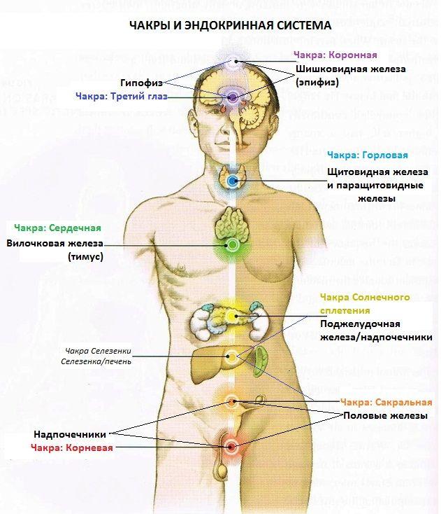 Чакры и эндокринная система