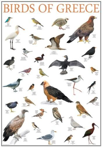 Poster, birds of greece, greek nature, mediterraneo editions, www.mediterraneo.gr
