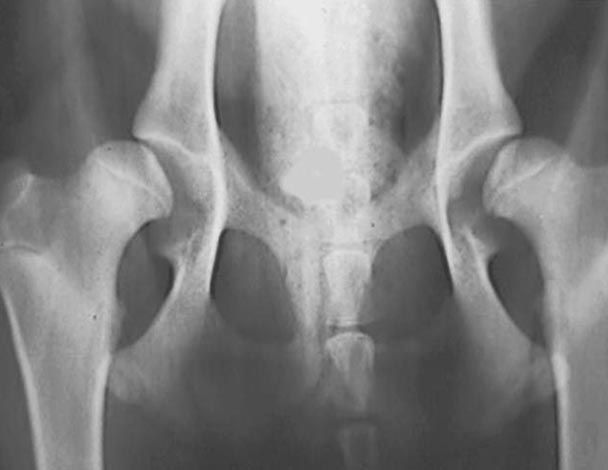 Displasia de Cadera en Perros - Derivaciones Quirúrgicas Veterinarias