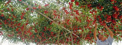 Formula περιοχή: δέντρο τεχνολογία καλλιέργεια τομάτας