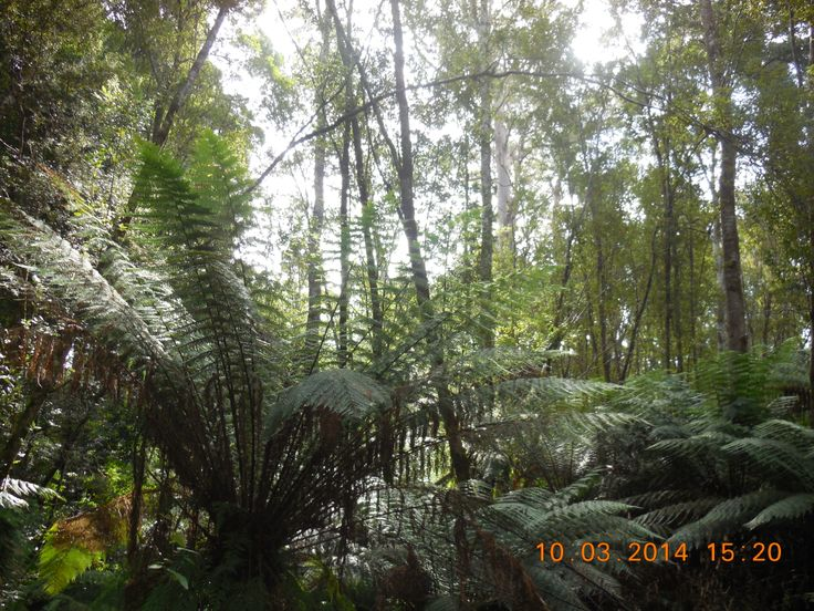 Rainforest in Strahan