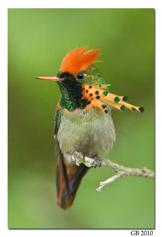 La coqueta adornada o coqueta abanico canela (Lophornis ornatus) es una especie de ave apodiforme de la familia de los colibríes que vive en el norte de Sudamérica.