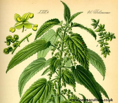 """The Benefits Of Stinging Nettles - Comprehensive info on nettles and some good reasons to harvest this free and abundant resource """"They have more protein than any other edible plant I know of. The seeds and roots have medicinal value. In the fall they can be used to make cordage - especially good for water cordage, like nets (hence the name). Possibly the easiest plant food to dry and save for later."""
