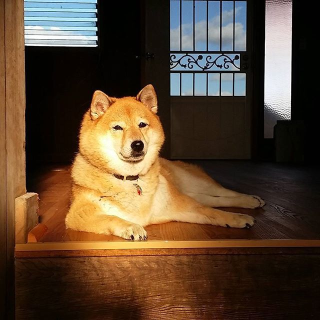 Shiba Inu Kitsune relaxing as the sun is going down.