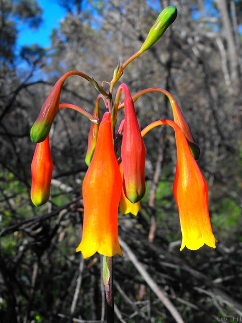 Christmas bells in Australian bush - photo Geoff Hill. I wonder where he saw these? I have not seen any for years.