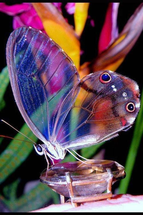 The amber phantom butterfly (Haetera piera); transparent