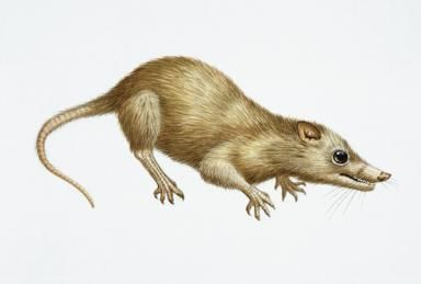 """IIllustration of Megazostrodon - the first mammals evolved from therapsids (""""mammal-like reptiles"""") at the end of the Triassic period, and coexisted with dinosaurs throughout the Mesozoic Era. DEA PICTURE LIBRARY/ De Agostini Picture Library/ Getty Images"""