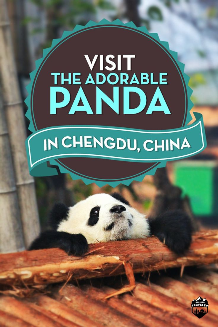 have you ever dreamed of seeing the adorable Panda in China, here's the completely guide…