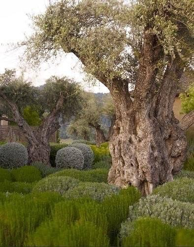 Old Olive Trees ....