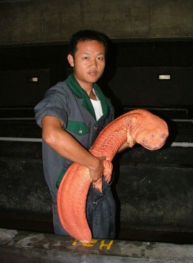The Chinese Giant Salamander can grow up to 6 ft in length and is nearly blind. It is is the largest salamander and largest amphibian in the world, and lives in China and Taiwan.