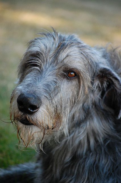 Irish wolfhounds... My dog is a mix and is the sweetest boy