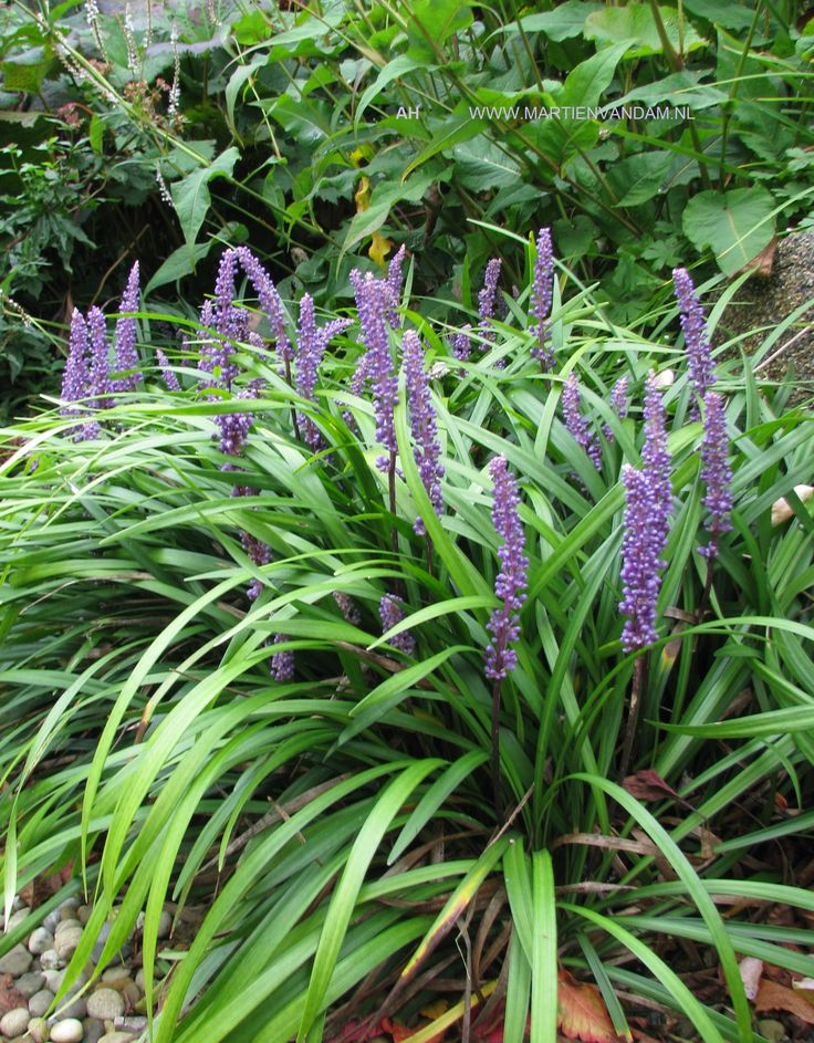 Liriope, lijken enigszins op gras, maar in nazomer verschijnen de violette aartjes die prachtig kleur in de herfst geven. Houden niet van vochtige grond, kunnen op alle grondsoort, verdragen droogte.