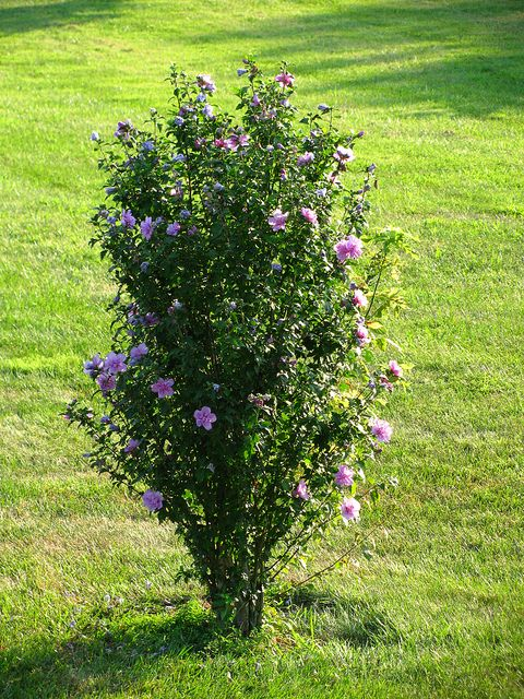 Rose of Sharon Bushes - Have several growing along fence line.  Reminds me of my childhood home.