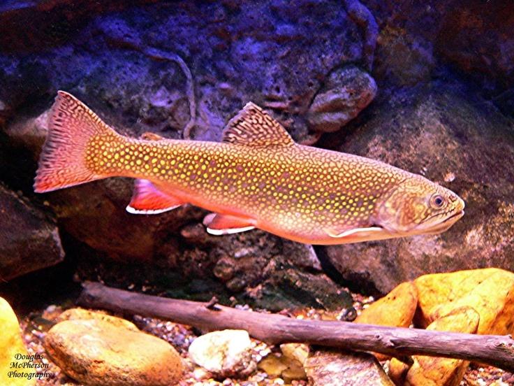 32 best trout fishing images on pinterest trout fishing for Best trout fishing in nc