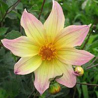 Single flowered edible dahlia from the garden