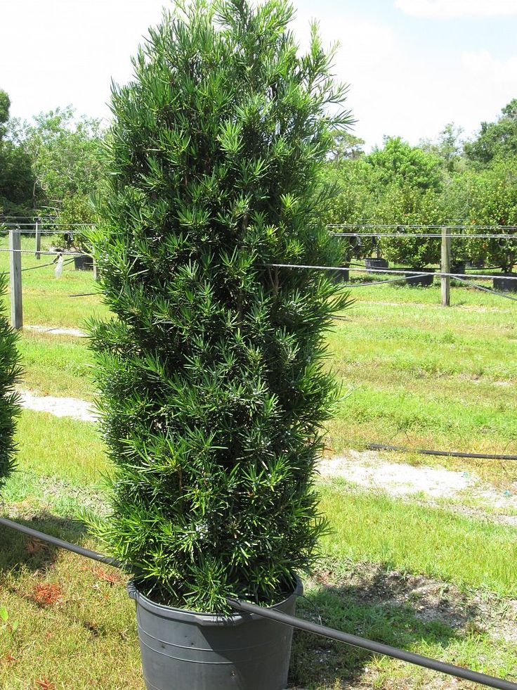 japanese yew upright - Google Search