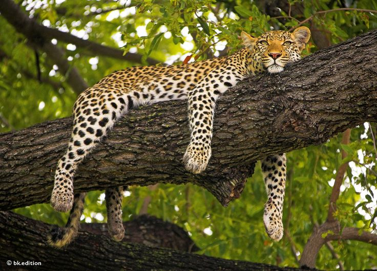 Diese Karte hier online kaufen: http://bkurl.de/pkshop-215093 Art.-Nr.: 215093 Leopardin | Foto: © Michael Poliza | Text: Michael Stührenberg