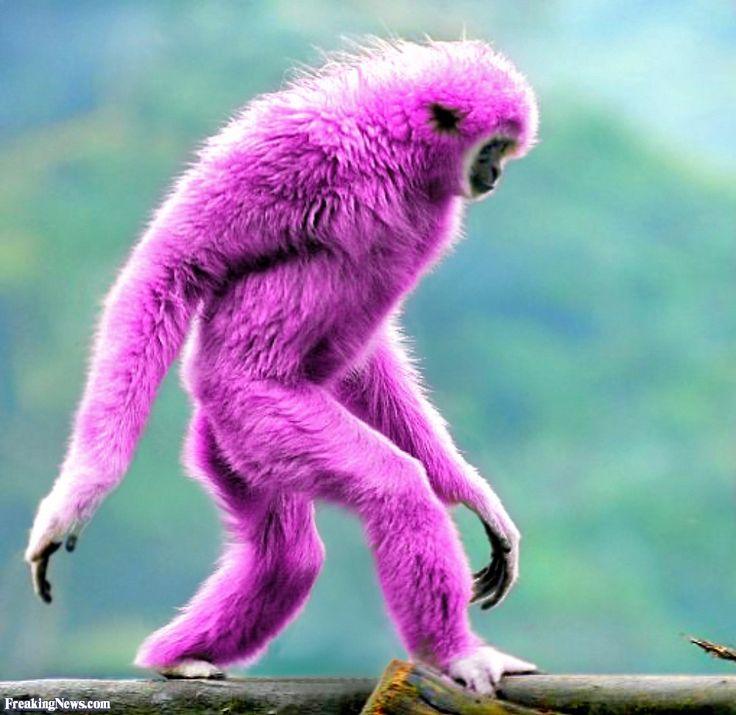 Pink monkey!!   Baby Monkeys   Pinterest