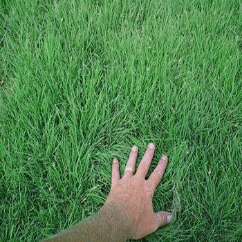 Cody Buffalo Grass - drought tolerant, warm season alternative to traditional American lawn