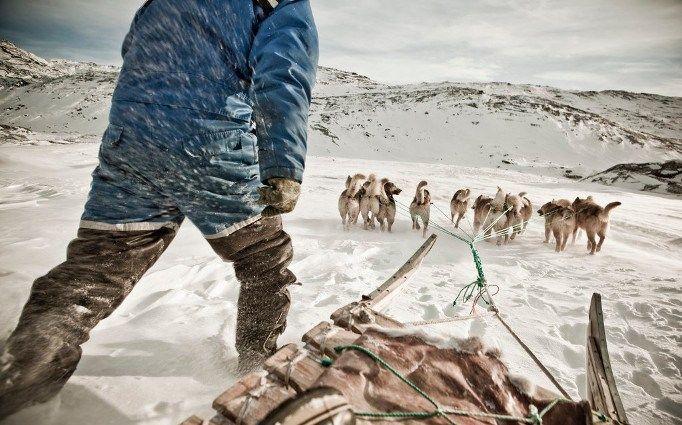 O trenó ainda é um meio muito utilizado na Groenlândia; uma população 60.000 e 30.000 cães de esquimó.